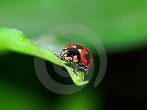 Rode Kever Stock Afbeelding - Afbeelding: 8489151