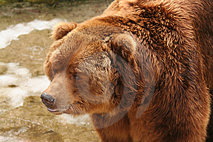 Brown Bear Royalty Free Stock Images - Image: 8489709