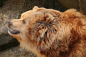 Brown Bear Stock Photo - Image: 8489720
