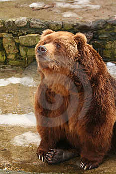 Brown Bear Royalty Free Stock Images - Image: 8489739