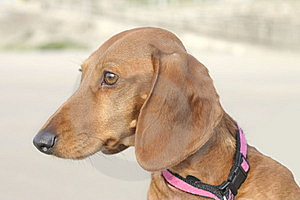 Dachshund Head Stock Photo - Image: 8490020