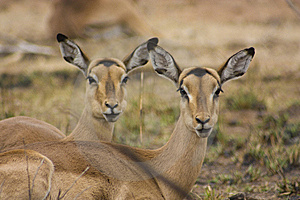 Female Impalas Stock Image - Image: 8490031