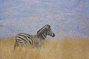 Cebra En Hábitat Natural Foto de archivo - Imagen: 8490240
