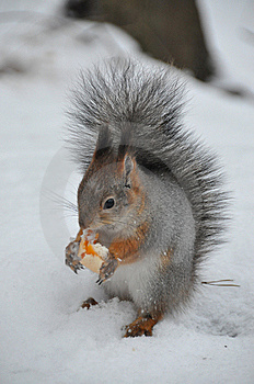 Squirrel Stock Image - Image: 8490451