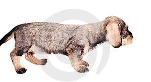 Small Dachshund On White Background Royalty Free Stock Images - Image: 8490789