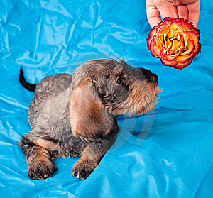 Small Dachshund Smelling A Flower Royalty Free Stock Photos - Image: 8490828
