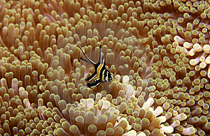 Banggai Cardinalfish Royalty Free Stock Image - Image: 8490866