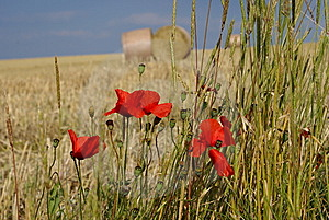 Poppies In Summer Royalty Free Stock Images - Image: 8491489