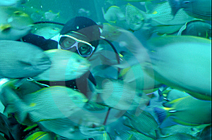 A Diver Feeding Tropical Fish In A Caisson Stock Photo - Image: 8491750