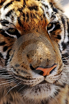 Tiger Stock Photography - Image: 8493332