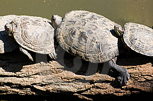 Tortoises Resting Royalty Free Stock Images - Image: 8493359