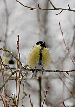 Titmouse Royalty Free Stock Images - Image: 8493659