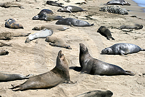 Elephant Seals In California Royalty Free Stock Photography - Image: 8493747