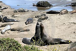 Elephant Seals In California Stock Photos - Image: 8493803