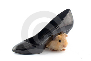 Guinea Pig Sitting Under A Slipper Royalty Free Stock Photography - Image: 8494727