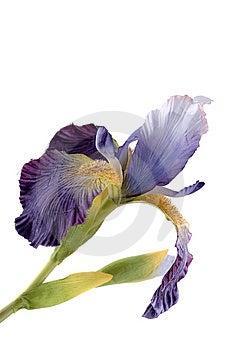 Artificial Iris Royalty Free Stock Image - Image: 8495106