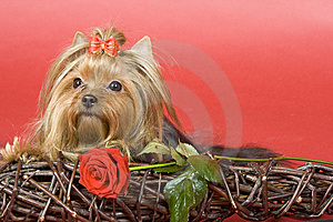 Yorkshire Terrier On Red Background Royalty Free Stock Image - Image: 8495566