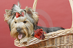 Yorkshire Terrier On Red Background Royalty Free Stock Photo - Image: 8495715
