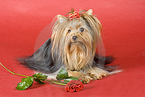 Yorkshire Terrier On Red Background Royalty Free Stock Images - Image: 8495799