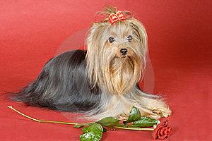 Yorkshire Terrier On Red Background Stock Photography - Image: 8495972