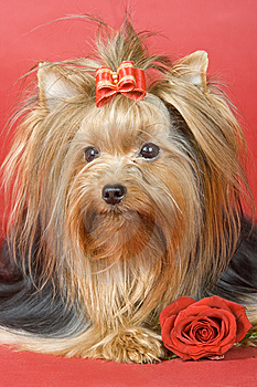 Yorkshire Terrier On Red Background Royalty Free Stock Photo - Image: 8496135