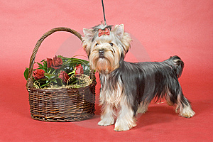 Yorkshire Terrier On Red Background Royalty Free Stock Photo - Image: 8496265