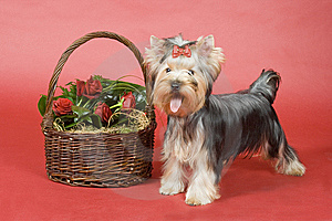 Yorkshire Terrier On Red Background Royalty Free Stock Photo - Image: 8496465