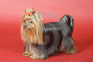 Yorkshire Terrier On Red Background Royalty Free Stock Images - Image: 8496809