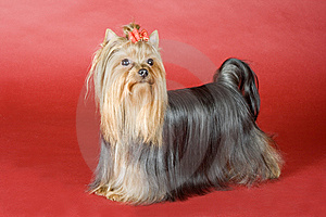 Yorkshire Terrier On Red Background Royalty Free Stock Image - Image: 8496946