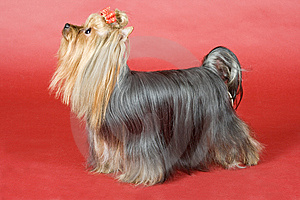Yorkshire Terrier On Red Background Royalty Free Stock Photo - Image: 8497125