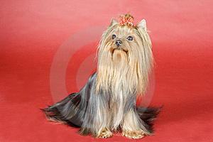 Yorkshire Terrier On Red Background Royalty Free Stock Image - Image: 8497276