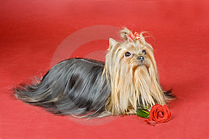 Yorkshire Terrier On Red Background Royalty Free Stock Image - Image: 8497456
