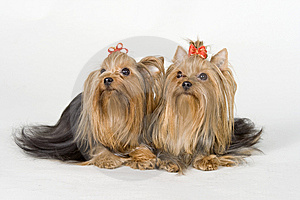 Yorkshire Terriers On White Background Royalty Free Stock Photos - Image: 8498308