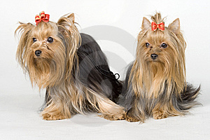 Yorkshire Terriers On White Background Royalty Free Stock Photo - Image: 8498375