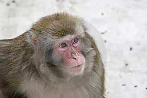 Macaca Fuscata Grey Japanese Monkey Royalty Free Stock Photography - Image: 8498487