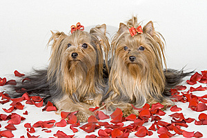 Yorkshire Terriers On White Background Royalty Free Stock Image - Image: 8498726