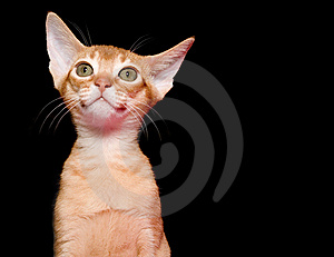 Abyssinian Kitten Stock Images - Image: 8498734