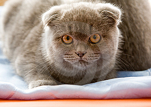 Scottish Fold Cat Stock Photo - Image: 8498780