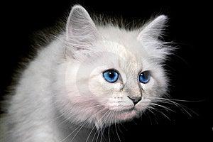 Gatinho Siberian Imagens de Stock Royalty Free - Imagem: 8498799