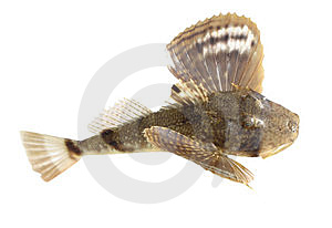 Ugly Fish Royalty Free Stock Photo - Image: 857715