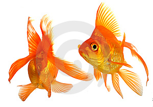 Goldfish Stock Images - Image: 8500114