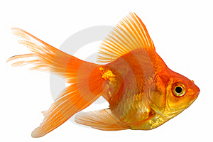 Goldfish Royalty Free Stock Photo - Image: 8500115