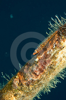 Mozambique Ghost Goby Royalty Free Stock Image - Image: 8500406