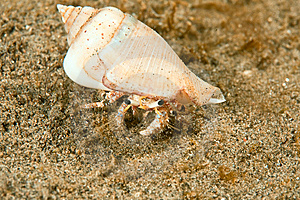 Reef Hermit Crab Royalty Free Stock Photo - Image: 8500475