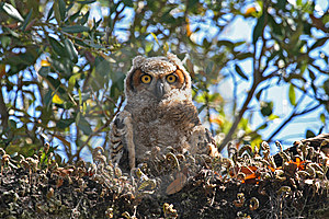 Young Owl Royalty Free Stock Image - Image: 8500636