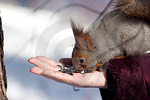 Eating Squirrel Stock Image - Image: 8500651