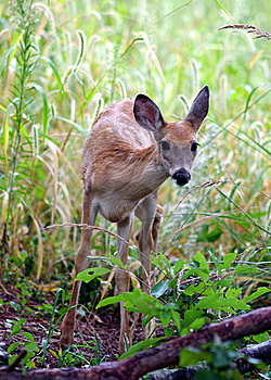 Wet Fawn Sees Something Royalty Free Stock Photos - Image: 8501698