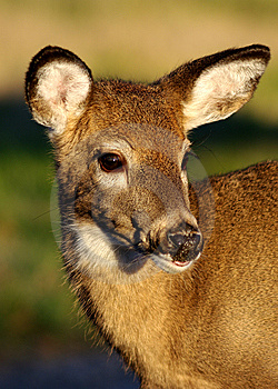 Fawn Portrait, Looking Right Royalty Free Stock Photography - Image: 8501857