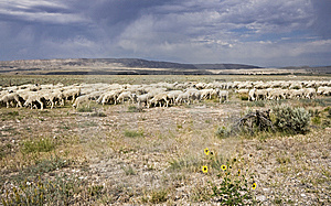 Sheep Royalty Free Stock Photos - Image: 8501878