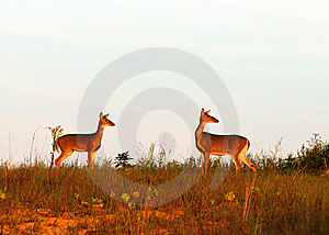 Two Does On Hill Royalty Free Stock Photo - Image: 8501935